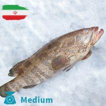 سمك هامور ايرانى وسط